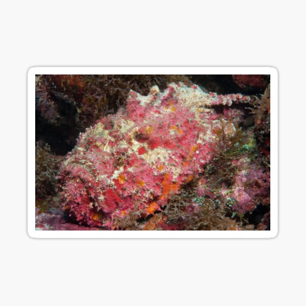 Reef Stonefish, off Port Moresby, Papua New Guinea Sticker