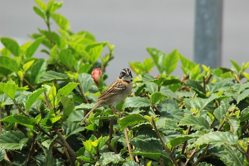 Rufous Collared Sparrow Looking by rhamm