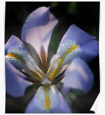 Shining Iris Poster
