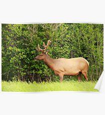 Elk 1 Poster