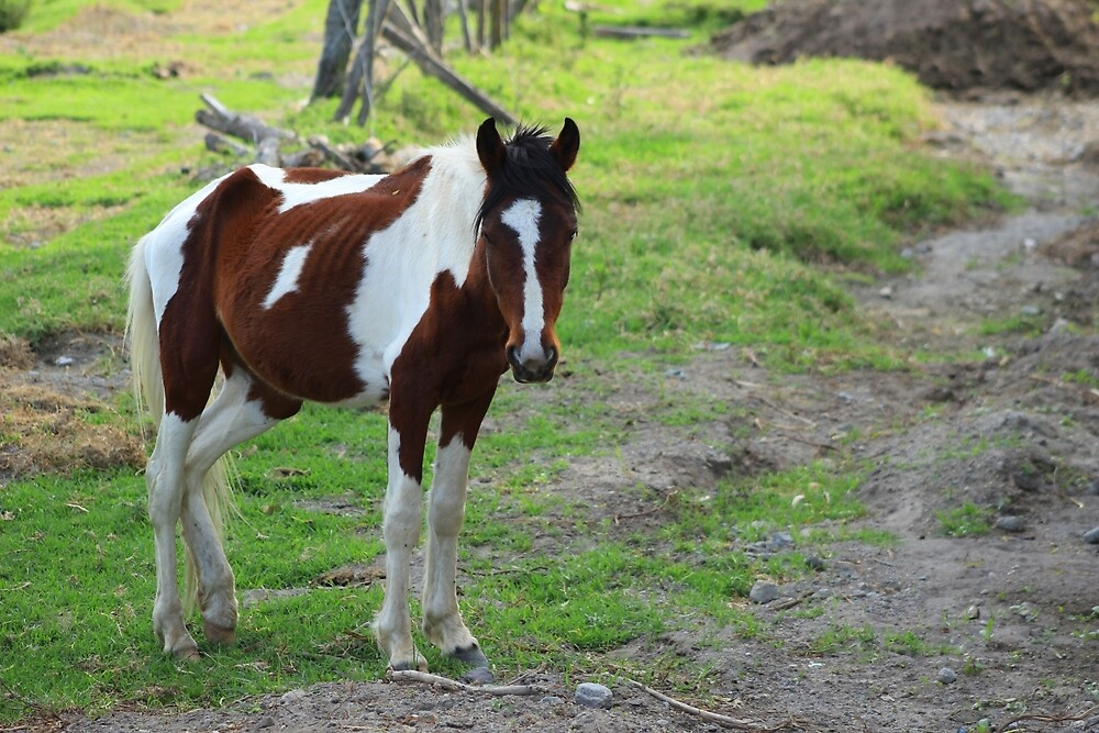 Brown and White Horse in a Pasture by rhamm