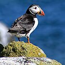 Puffin by David Alexander Elder