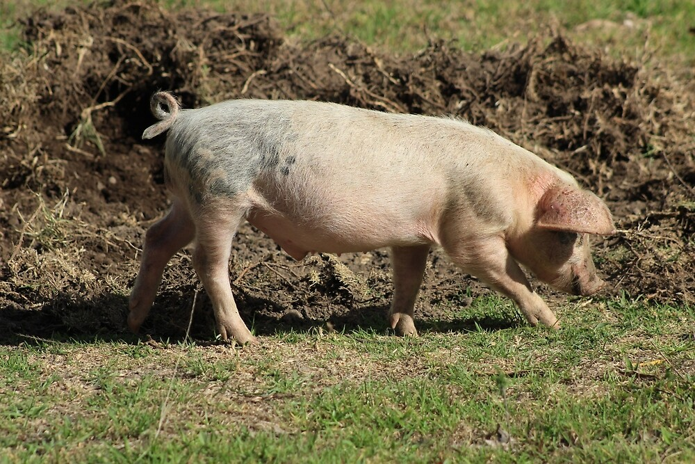 Pig Walking in a Pasture by rhamm