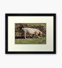 Pig Walking in a Pasture Framed Print
