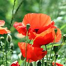 """""""Poppies at Last"""" by technochick"""
