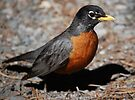 American Robin by Ronald Hannah
