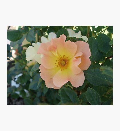 ONE PRETTY MONTANA ROSE Photographic Print