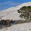 Scots Pine in the Snow by David Alexander Elder