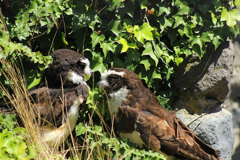 Spectacled Owls by rhamm