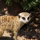 Meerkat at the zoo by agenttomcat