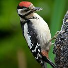 Juvenile Great spotted Woodpecker by Nicole W.