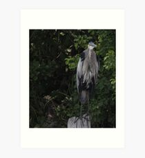 Great Blue Heron from Okauchee Wisconsin Art Print