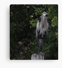 Great Blue Heron from Okauchee Wisconsin Canvas Print
