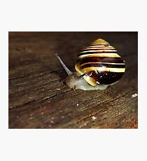 Banded Snail (Cepaea hortensis) Photographic Print