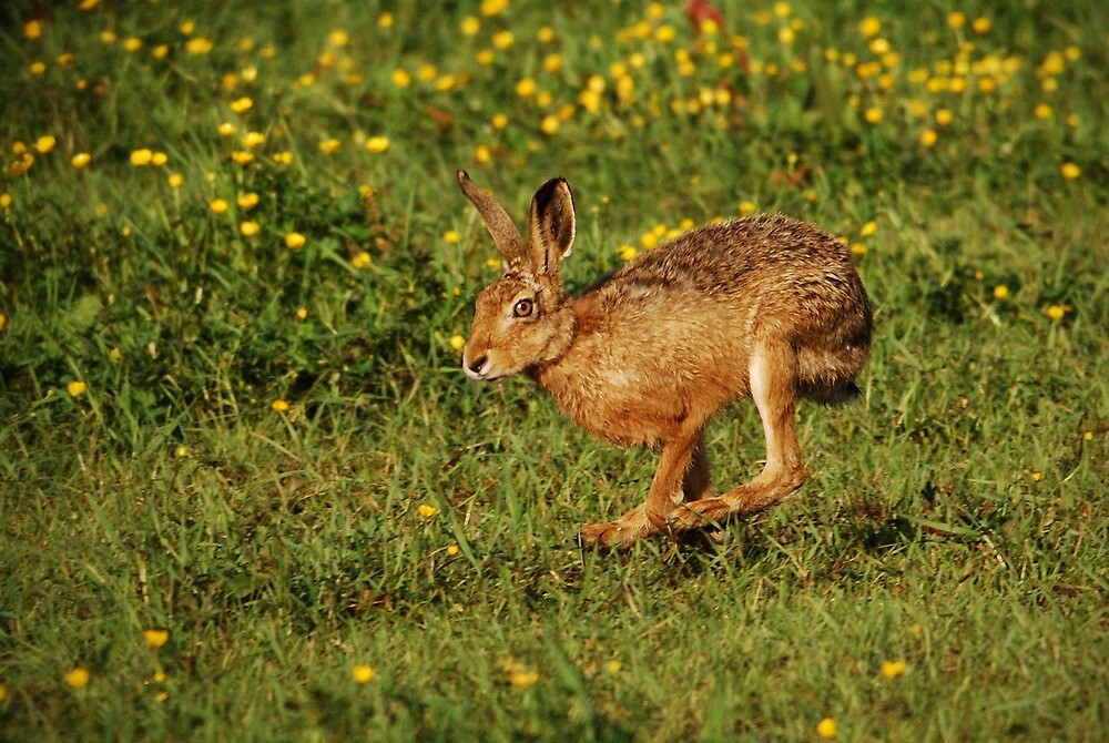 Running Hare by Nigel Tinlin