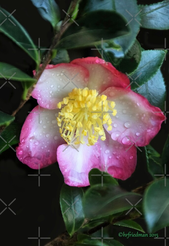 Azalea After the Rain by Heather Friedman
