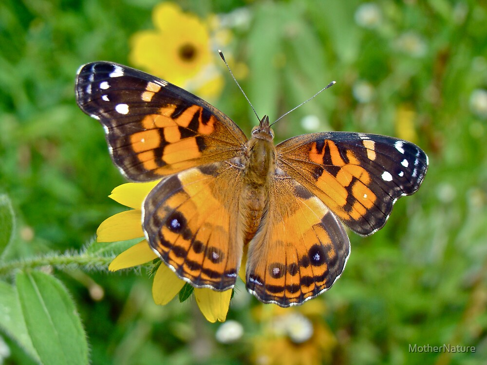 American Lady Butterfly Dorsal View - Vanessa virginiensis by MotherNature
