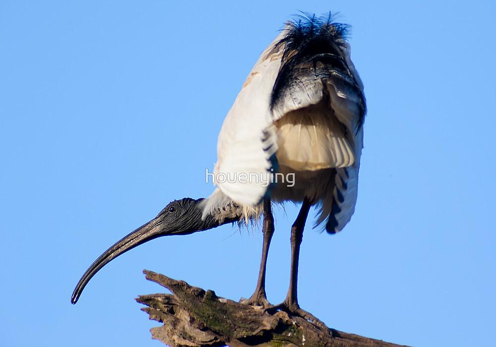 Australian White Ibis by houenying