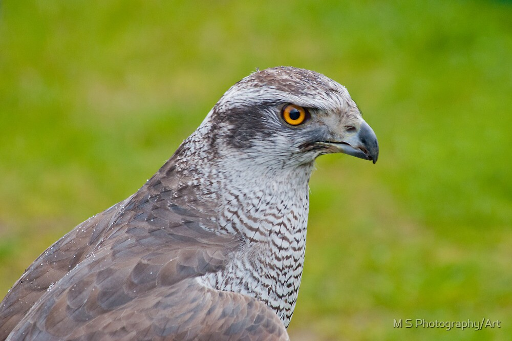 Gos Hawk by M S Photography/Art