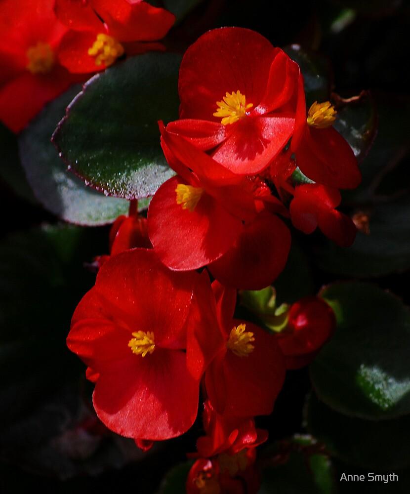 Begonia by Anne Smyth