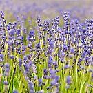 Lavender Closeup by Sue Knowles