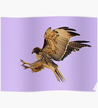 062611 Red Tailed Hawk Poster