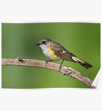 American Redstart (First Year Male). Poster