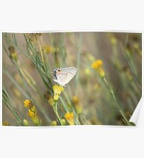 Gray Butterfly Poster