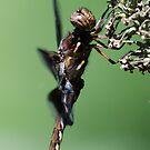 Dragon Fly! by vasu