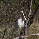 'LAUGH OUT LOUD!' i'M ON CANDID CAMERA.  Yellowbilled Spoonbill. by Rita Blom