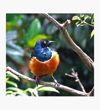African Superb Starling Photographic Print