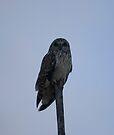 Short Eared Owl by Nigel Bangert