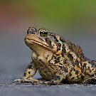 American Toad Crossing the Road. by Daniel Cadieux