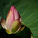 Lotus Bud by leoaloha