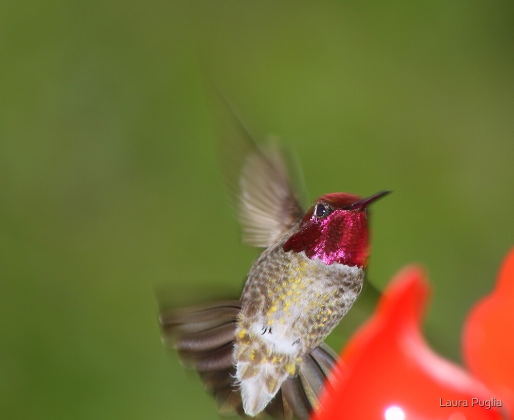 I cannot doubt the hand of God the Creator in the design of the remarkable hummingbirds. Truly they are 'God's tiny miracle.' by Laura Puglia