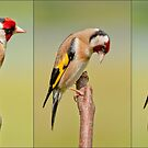 Goldfinch ~Triptych by M.S. Photography/Art
