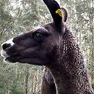 Llama by Eve Parry
