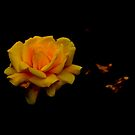 Yellow Rose in Shadows by Chris1249