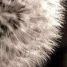 Dandelion by gypsygirl