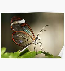 Glasswinged tropical butterfly Poster