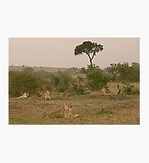 Seven Lions - Sieben Löwen Photographic Print