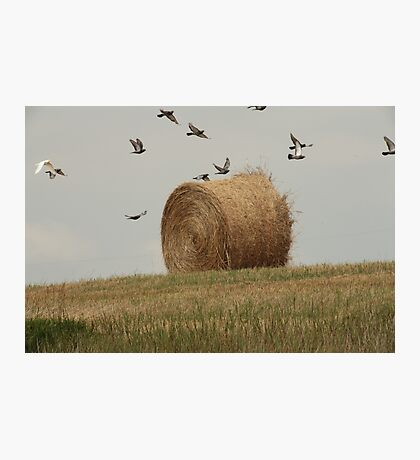 Hairy Hay Bale and Birds Photographic Print