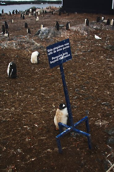 Penguins only by Kenji Ashman