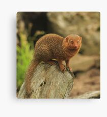 """Dwarf Mongoose "" Canvas Print"