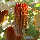 Oak Leaved Banksia by Eve Parry