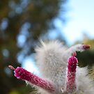Cactus Flower by VincenzoL