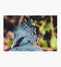Southern Crowned Pigeon Photographic Print