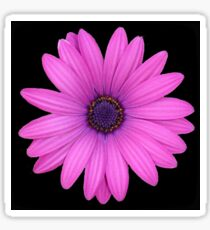Pink African Daisy Isolated on A Black Background Sticker