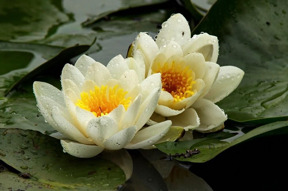 white water lily by Matthew Burniston