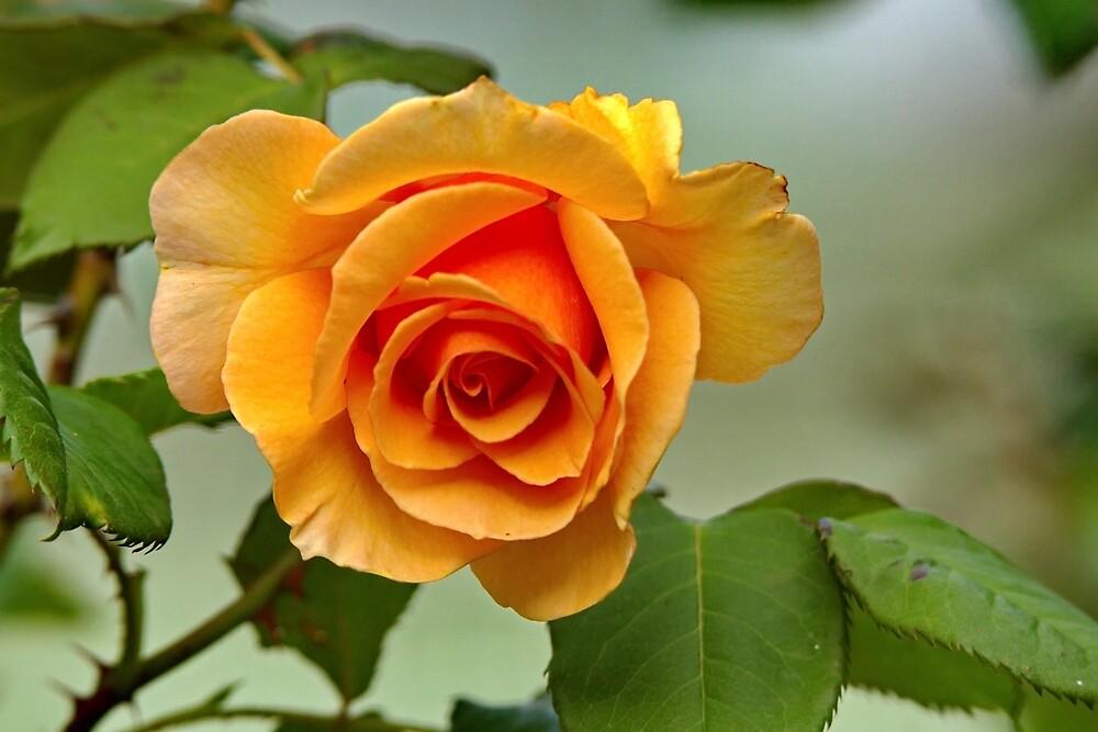 Apricot Rose by Matthew Burniston